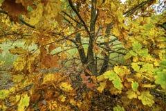 Autumn Landscape De herfstbladeren van eik Stock Afbeeldingen