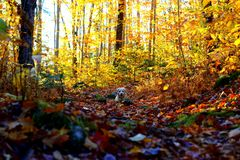 Autumn landscape with a dog in the leaves stock photos