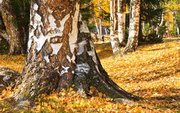Autumn landscape, fall foliage, birch forest Stock Photo