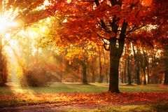 Autumn Landscape. Fall Scene.Trees and Leaves in Sunlight Rays. Autumn Landscape. Fall Scene. Trees and Leaves, Foggy Forest in Sunlight Rays stock photography