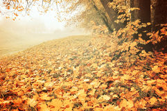 Autumn landscape in foggy weather - deserted park with fallen maple leaves on the foreground Royalty Free Stock Images