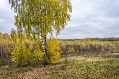 Autumn landscape. In the foreground birch with yellowing leaves Royalty Free Stock Photography