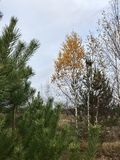 Autumn landscape in the forest. Green firs and yellowed birches with fallen leaves. Royalty Free Stock Photos