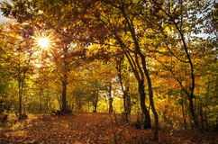 Colors of autumn in the forest. Landscape with colored leaves and the sun through trees. Autumn background. Colors of autumn in the forest. Landscape with the stock image