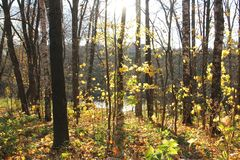 Autumn landscape. Forest, trees, maples, yellow foliage royalty free stock image