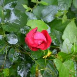 Water drops and red rose in the garden in midsummer, in a sunny day. Green landscape. Autumn landscape in the garden. Madness of the colours in Fall season and royalty free stock photo