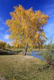 Autumn landscape - gold birch near pond Royalty Free Stock Photo