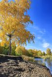 Autumn landscape - gold birch near pond Royalty Free Stock Photos