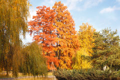Autumn landscape with gold leaves and blue sky Royalty Free Stock Image