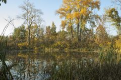 Autumn landscape. Gold trees, lake and cane. Calm evening. stock image
