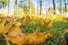 Autumn landscape in golden autumn in park in sunny weather, fallen maple leaves on green grass in foreground.  royalty free stock photos
