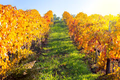 Autumn landscape - Golden Rows of Vineyard Stock Photo