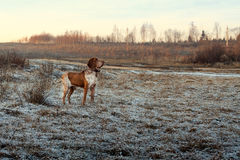 Autumn landscape with a hunting dog. Royalty Free Stock Photos