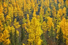Autumn landscape. Larch forest. Stock Photography