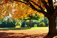 Autumn landscape with large tree in park Stock Image