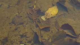 Leaves on the bottom of the lake. Autumn landscape. Leaves at the bottom of a quiet autumn lake near the sandy shore stock video footage