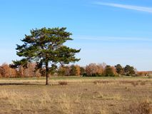 Autumn landscape. A lone pine tree grows in the plains of the Altai Royalty Free Stock Image