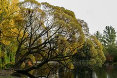 Majestic willow is bending to water pond in the autumn evening. Autumn landscape. Majestic willow is bending to water pond in the autumn evening Stock Photography