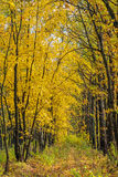 Autumn landscape with maple forest and fallen leaves. Autumn landscape with maple forest and fallen yellow leaves royalty free stock images