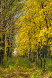 Autumn landscape with maple forest and fallen leaves. Autumn landscape with maple forest and fallen yellow leaves stock photos