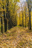 Autumn landscape with maple forest and fallen leaves. Autumn landscape with maple forest and fallen yellow leaves royalty free stock image