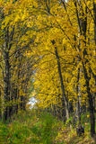 Autumn landscape with maple forest and fallen leaves. Autumn landscape with maple forest and fallen yellow leaves stock image