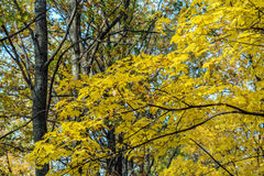 Autumn landscape with maple forest and fallen leaves. Autumn landscape with maple forest and fallen yellow leaves royalty free stock photography