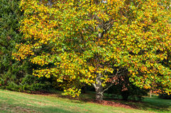 Autumn landscape with maple tree Royalty Free Stock Photography