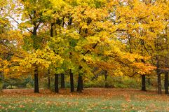 Autumn landscape with maple trees. Autumn landscape. Maple trees with yellow leaves in the park royalty free stock photos