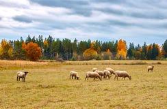 Autumn Landscape met Schapen royalty-vrije stock afbeelding