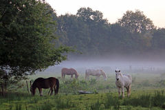 Autumn landscape with mist in the countryside and four Icelandic horses Stock Image