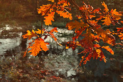 Autumn landscape with oak tree branches over the dry old pond Stock Image