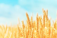 Free Autumn Landscape Of Wheat Field. Beautiful Ripe Organic Ears Of Wheat During Harvest Against Blue Sky Royalty Free Stock Photo - 152551245