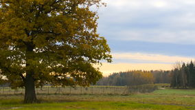 Autumn landscape with orange autumn oak tree in the field. stock video