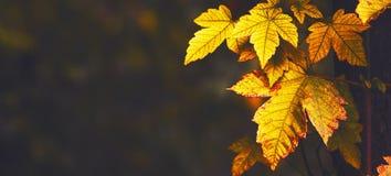 Autumn landscape, orange maple leaves, square image, selective f. Autumn landscape, orange maple leaves, dark toned image, selective focus stock photos