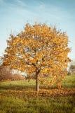 Autumn landscape with orange autumn oak tree royalty free stock photography