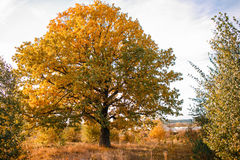 Autumn landscape with orange oak tree in the field. nature - in sunny . Picturesque view of . in sunlight Royalty Free Stock Image