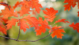 Autumn landscape in park beautiful red maple leaves. Shallow depth of field, soft focus. Royalty Free Stock Photos