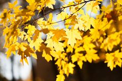 Autumn landscape in park beautiful yellow maple leaves. Shallow depth of field, soft focus photo.  stock photos