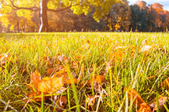 Autumn landscape - park at the sunset with autumn leaves on the foreground Royalty Free Stock Photography