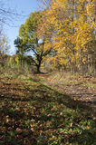 Autumn landscape with paths and a big tree with yellow leaves. Stock Photos