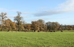 An autumn landscape of Red Deer grazing in a field in front of a wooded area of Oak trees at Woburn, Uk Royalty Free Stock Photos