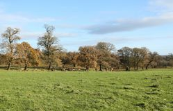 An autumn landscape of Red Deer grazing in a field in front of a wooded area of Oak trees at Woburn, Uk Royalty Free Stock Image