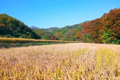 Autumn landscape South Korea. Autumn landscape with rice fields and mountains South Korea Stock Photos