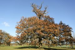 An autumn landscape scenic view of a mighty Oak tree at Woburn, Uk. Autumn landscape scenic view of a mighty Oak tree at Woburn, Uk Stock Photos