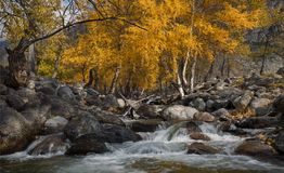 Autumn Landscape With Several Yellow Birches And Cold Creek. Autumn Mountain Landscape With River And Birch. Birch On The Bank Of. A Stream Flowing Among The stock image