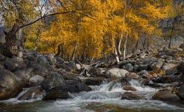 Autumn Landscape With Several Yellow björkar och kall liten vik Autumn Mountain Landscape With River och björk Björk på banken av fotografering för bildbyråer