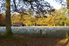 Autumn landscape with sheep herd. A shot of a herd of sheep in a beautiful autumn colored landscape Royalty Free Stock Photos