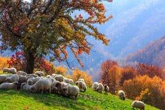 Autumn landscape, sheep, shepard dog Stock Images