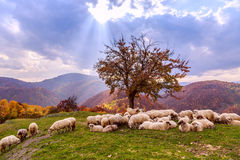 Autumn landscape, sheep, shepard dog Stock Photo